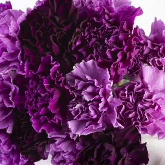Florigene Purple Carnations