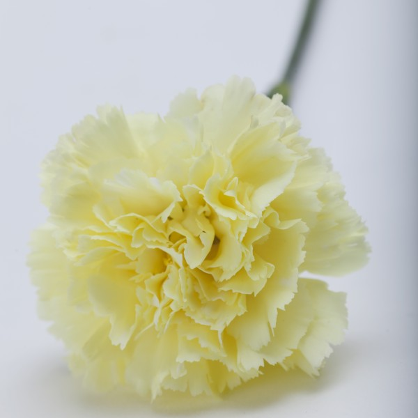 Carnations martins specialty store order online online cake carnations carnations carnations carnations mightylinksfo